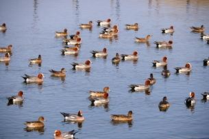 池に集まったカモの群れの写真素材 [FYI03823717]