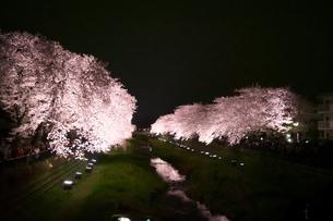 満開の夜桜(風景)の写真素材 [FYI03823722]