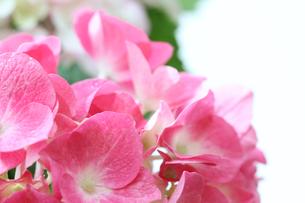 紫陽花の写真素材 [FYI03823740]