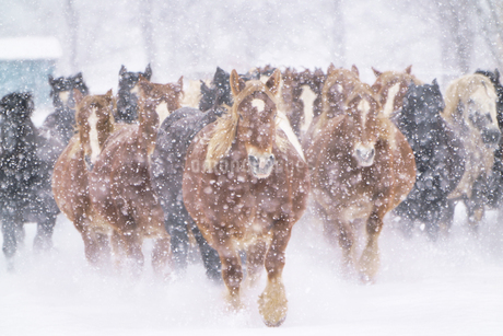 冬の馬の写真素材 [FYI03823800]