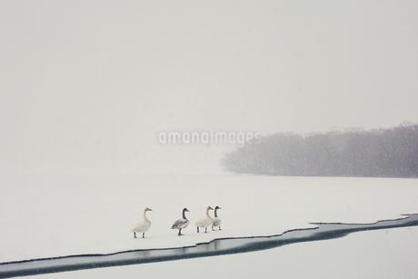 白鳥の写真素材 [FYI03823810]