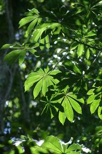 ブラジルの新緑の写真素材 [FYI03823864]
