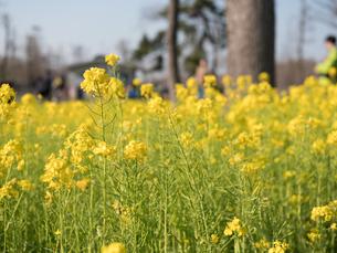 水元公園の菜の花畑の写真素材 [FYI03823966]