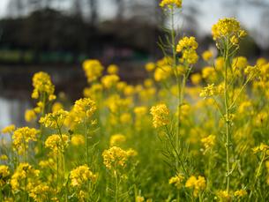 水元公園の菜の花畑の写真素材 [FYI03823968]