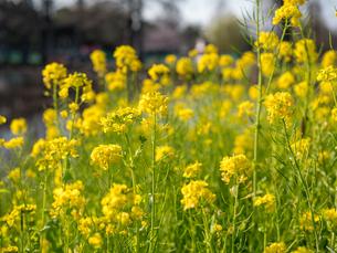 水元公園の菜の花畑の写真素材 [FYI03823970]