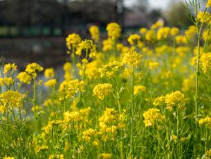 水元公園の菜の花畑の写真素材 [FYI03823972]