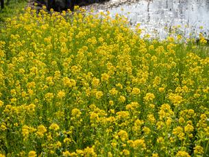 水元公園の菜の花畑の写真素材 [FYI03823973]