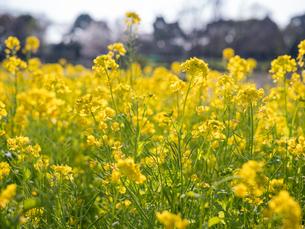 水元公園の菜の花畑の写真素材 [FYI03823975]