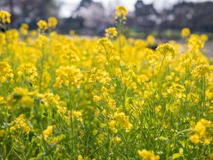 水元公園の菜の花畑の写真素材 [FYI03823977]