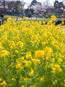 水元公園の菜の花畑の写真素材 [FYI03823978]