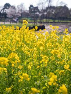 水元公園の菜の花畑の写真素材 [FYI03823980]