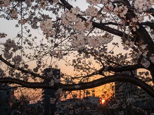 夕日と桜の景観の写真素材 [FYI03823984]