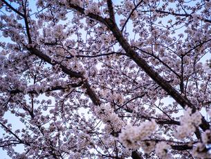 夕暮れ撮影した桜と空の景観の写真素材 [FYI03823987]