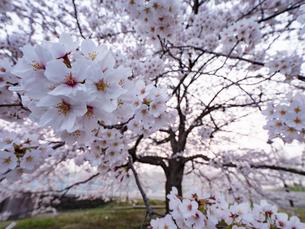早朝から朝に掛けて撮影した水元公園の桜の花の写真素材 [FYI03823991]