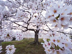 早朝から朝に掛けて撮影した水元公園の桜の花の写真素材 [FYI03823992]