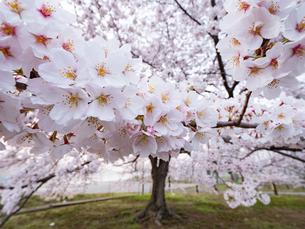 早朝から朝に掛けて撮影した水元公園の桜の花の写真素材 [FYI03823994]