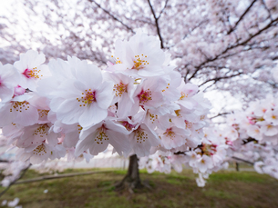 早朝から朝に掛けて撮影した水元公園の桜の花の写真素材 [FYI03823995]