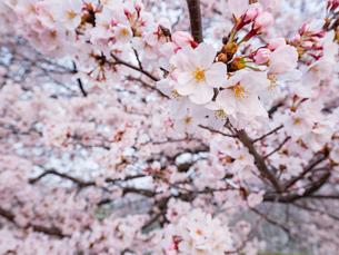 早朝から朝に掛けて撮影した水元公園の桜の花の写真素材 [FYI03823997]