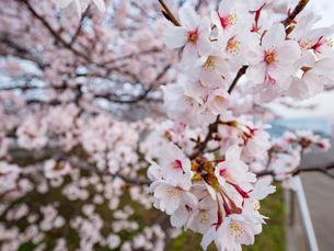 早朝から朝に掛けて撮影した水元公園の桜の花の写真素材 [FYI03823998]