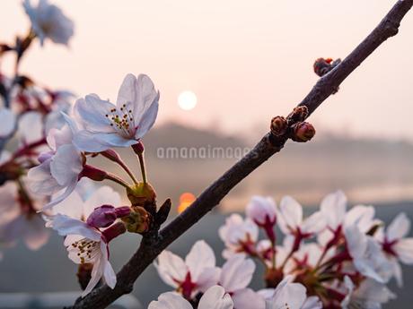 早朝から朝に掛けて撮影した水元公園の桜の花の写真素材 [FYI03824000]