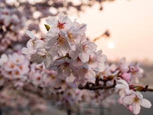 早朝から朝に掛けて撮影した水元公園の桜の花の写真素材 [FYI03824002]