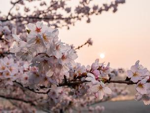 早朝から朝に掛けて撮影した水元公園の桜の花の写真素材 [FYI03824003]