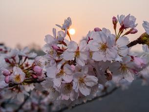 早朝から朝に掛けて撮影した水元公園の桜の花の写真素材 [FYI03824005]