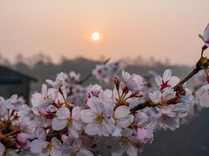 早朝から朝に掛けて撮影した水元公園の桜の花の写真素材 [FYI03824006]