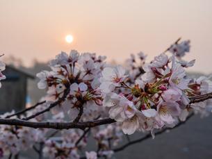 早朝から朝に掛けて撮影した水元公園の桜の花の写真素材 [FYI03824008]