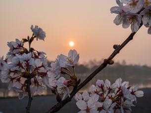 早朝から朝に掛けて撮影した水元公園の桜の花の写真素材 [FYI03824009]