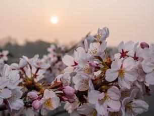 早朝から朝に掛けて撮影した水元公園の桜の花の写真素材 [FYI03824021]