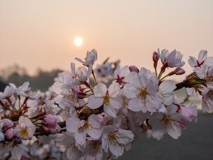 早朝から朝に掛けて撮影した水元公園の桜の花の写真素材 [FYI03824022]