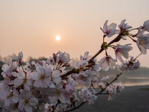早朝から朝に掛けて撮影した水元公園の桜の花の写真素材 [FYI03824023]