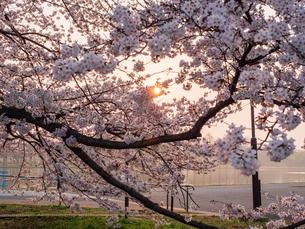 早朝から朝に掛けて撮影した水元公園の桜の花の写真素材 [FYI03824024]