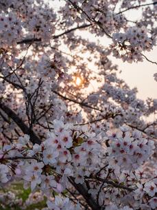 早朝から朝に掛けて撮影した水元公園の桜の花の写真素材 [FYI03824025]