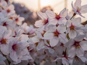 早朝から朝に掛けて撮影した水元公園の桜の花の写真素材 [FYI03824026]