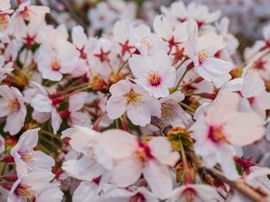 早朝から朝に掛けて撮影した水元公園の桜の花の写真素材 [FYI03824027]