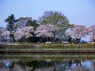 早朝から朝に掛けて撮影した水元公園の桜の花の写真素材 [FYI03824028]