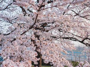 早朝から朝に掛けて撮影した水元公園の桜の花の写真素材 [FYI03824030]