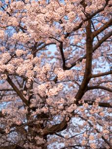 早朝から朝に掛けて撮影した水元公園の桜の花の写真素材 [FYI03824031]