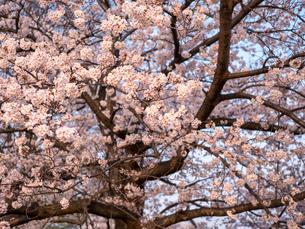 早朝から朝に掛けて撮影した水元公園の桜の花の写真素材 [FYI03824032]