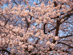 早朝から朝に掛けて撮影した水元公園の桜の花の写真素材 [FYI03824033]