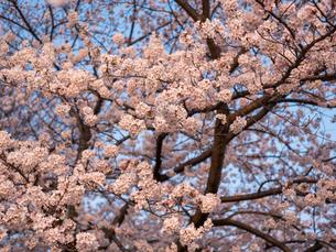 早朝から朝に掛けて撮影した水元公園の桜の花の写真素材 [FYI03824034]