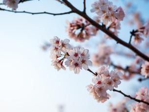 早朝から朝に掛けて撮影した水元公園の桜の花の写真素材 [FYI03824035]