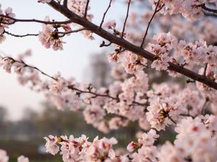 早朝から朝に掛けて撮影した水元公園の桜の花の写真素材 [FYI03824036]