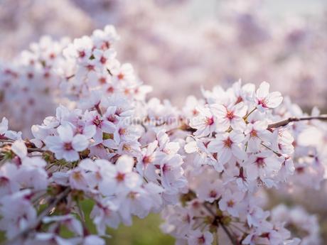 早朝から朝に掛けて撮影した水元公園の桜の花の写真素材 [FYI03824037]