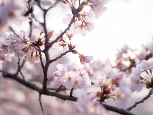 早朝から朝に掛けて撮影した水元公園の桜の花の写真素材 [FYI03824038]