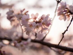 早朝から朝に掛けて撮影した水元公園の桜の花の写真素材 [FYI03824040]