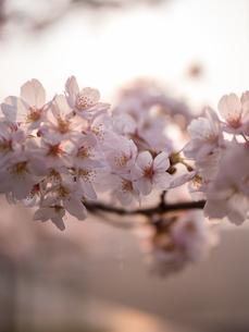 早朝から朝に掛けて撮影した水元公園の桜の花の写真素材 [FYI03824041]