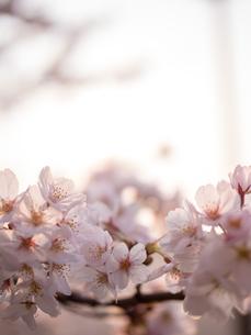 早朝から朝に掛けて撮影した水元公園の桜の花の写真素材 [FYI03824042]
